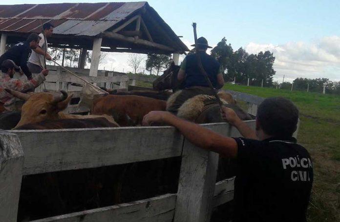 Photo of Em pouco mais de dois meses, Força-Tarefa de Combate ao Abigeato e Crimes Rurais já contabiliza 587 animais recuperados e 16 pessoas presas