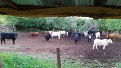 Photo of Polícia Civil apreende 18 animais bovinos no interior de Rosário do Sul